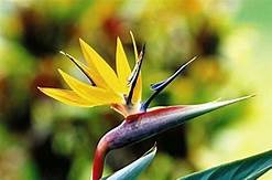 Bird of Paradise - Yellow