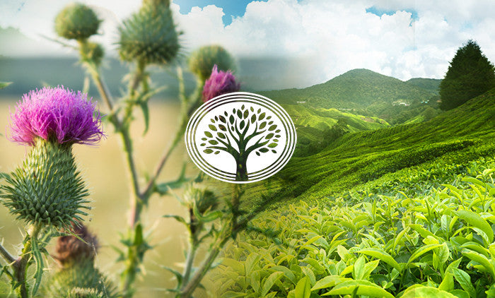 Milk Thistle - A Powerful Herb for Your Complete Health