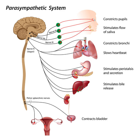 The Parasympathetic Nervous System and Vagus Nerve