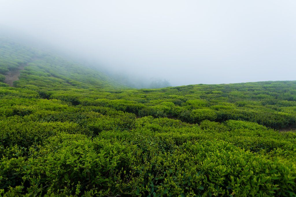 Tea And Terroir | How Growing Location Affects Tea's Flavor