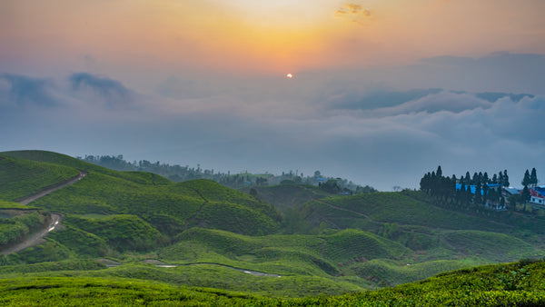 The majestic view of the Ilam Tea Gardens.