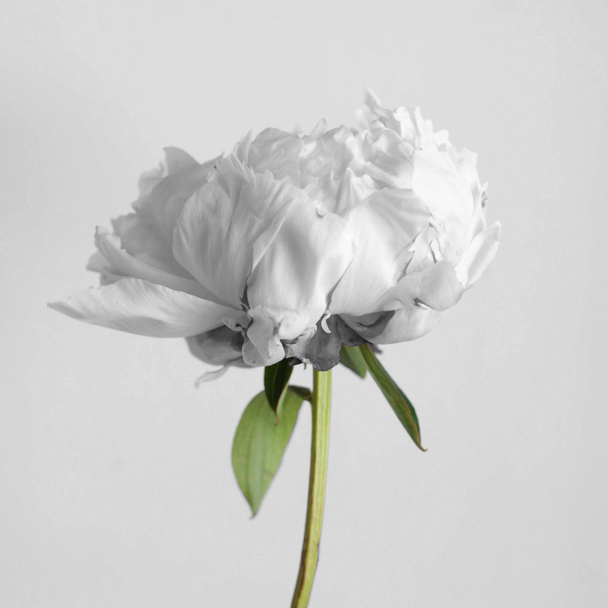 Organic bloom in twoodie style of monochrome background