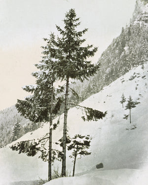 Reproduction Art Print (Wintery Pine)
