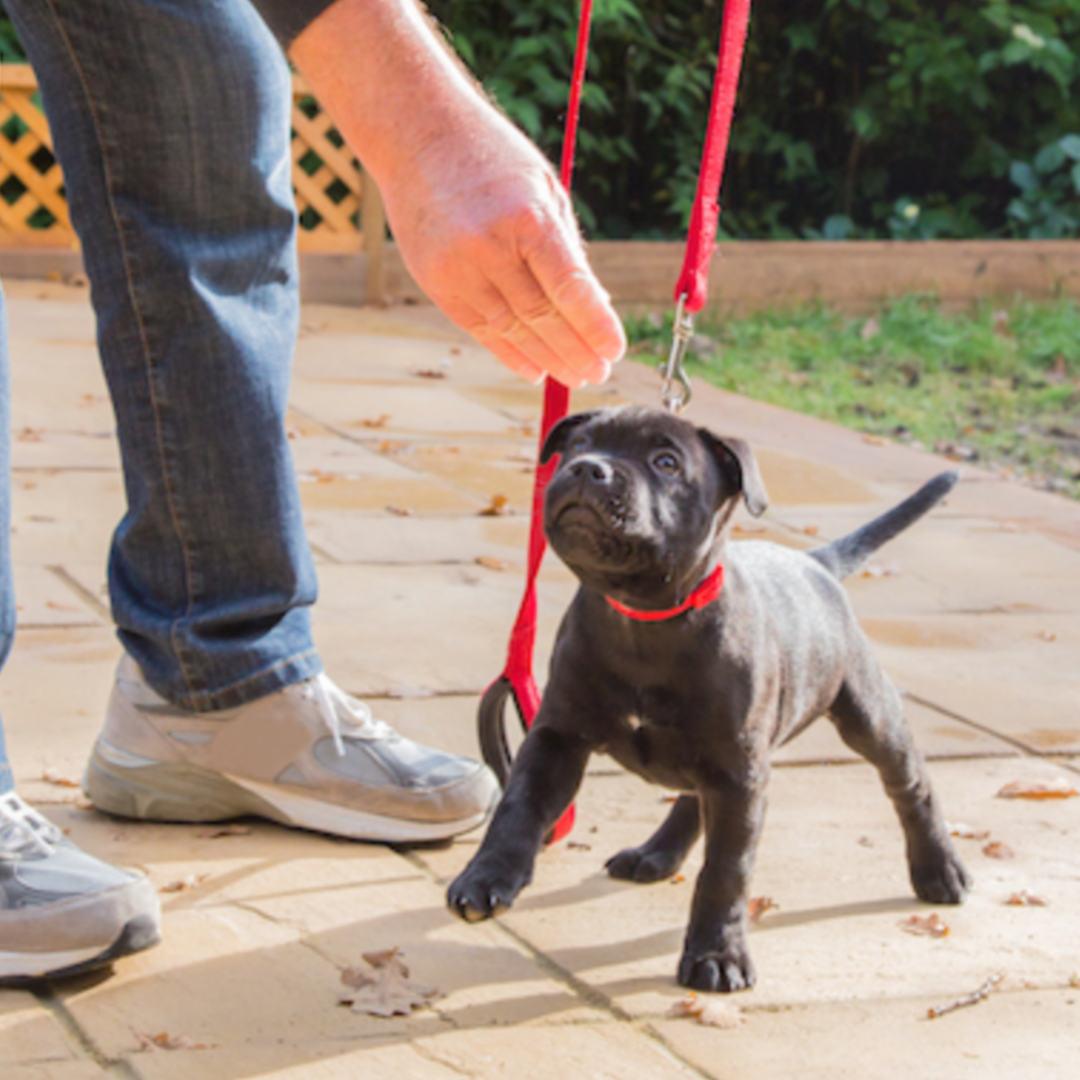 Leash Training 101