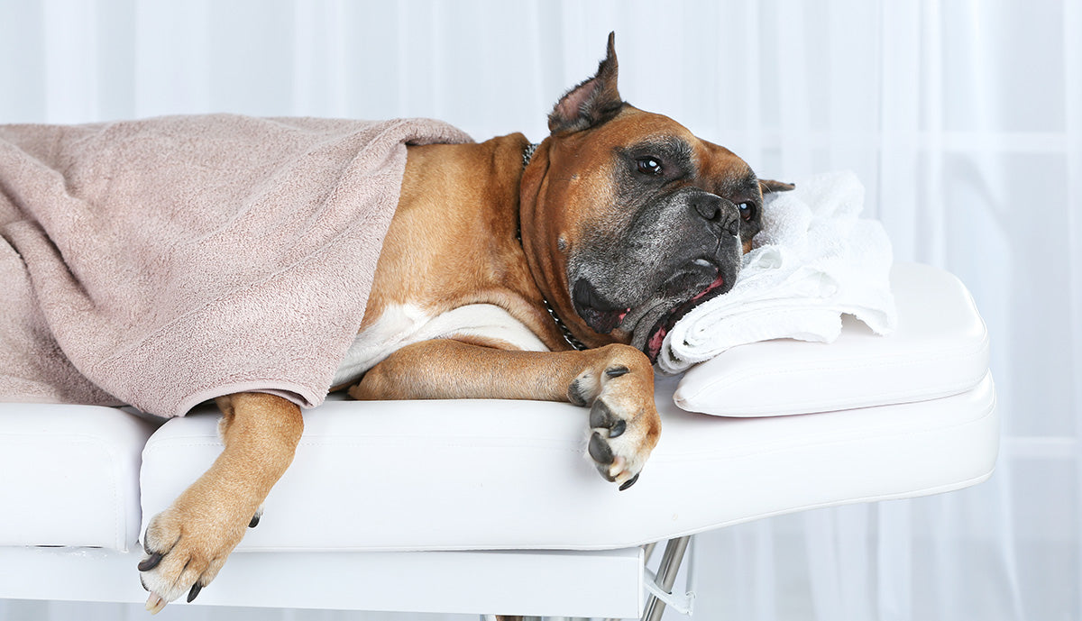 Spa Days for Your Pampered Pooch