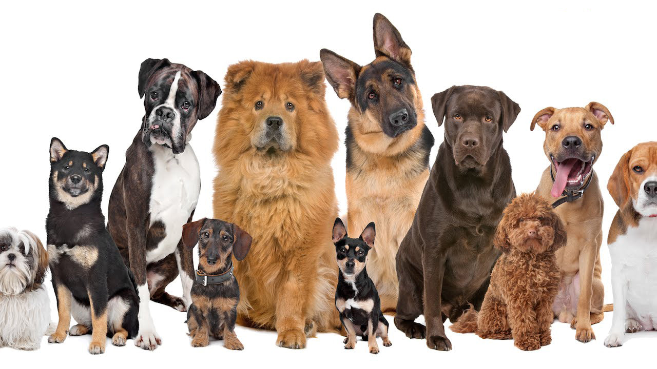 Top 10 ESA Dog Breeds – Canine Styles