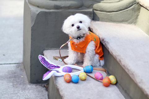 Mochi is a Maltipoo living in NYC Check out her Easter Bunny look - Follow her adventures @Mochiandtheciity