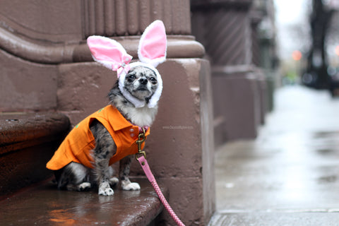 Pebbles is a living in NYC Check out her easter bunny look - Follow her adventures @FlintstonePups