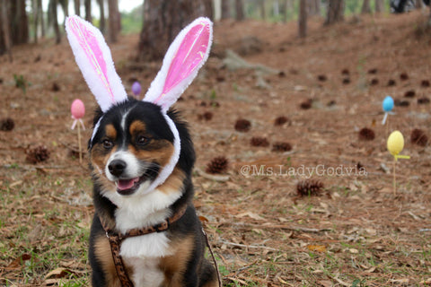 Lady Godiva is a Toy Aussie living in Florida Check out Her Easter Bunny look - Follow her dog adventures @Ms.LadyGodiva