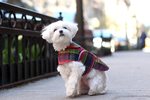 Mochi in the city - Instagram famous dog wearing Canine Styles Red Plaid Rain Coat