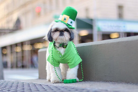 Marshall is a  Shih Tzu living in New York City Check out his Saint Patricks Day look - Follow his adventures on Instagram @MarshmallowPup09