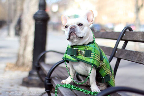 Mickey Walker is a Frenchie living in NYC Check out his Saint Patricks Day look - Follow his adventures @mickeywalker_nyc