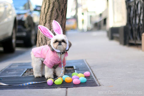 Marshall is a Shih Tzu living in New York City Check out his Easter Bunny  look - Follow his Dog adventures on Instagram @MarshmallowPup09