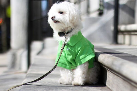 Mochi is a Maltipoo living in NYC Check out her Saint Patricks Day look - Follow her adventures @Mochiandtheciity