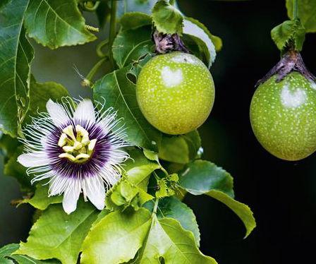 The Energetic Properties of Passionflower