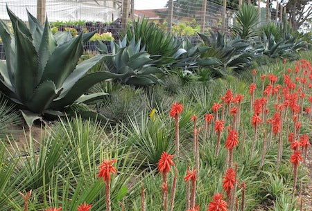 Agaves and Aloes