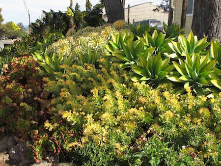Aeonium and Agave