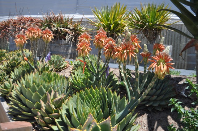 Plant Health And Cultivation Of Spiral Aloe Succulent Gardens