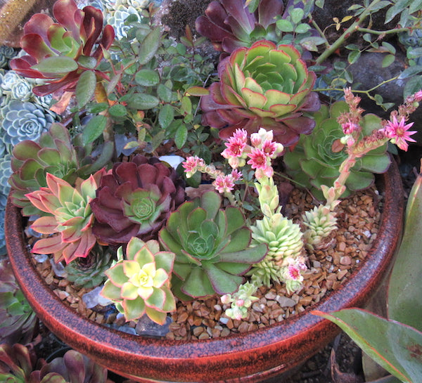 Succulent Container Gardens Top Dressing Succulent Gardens