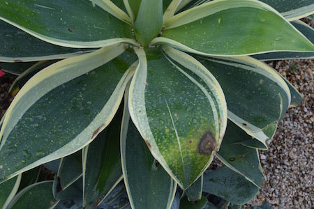 Frost damage on agave attenuata ray of light