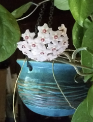 hoya plant care instructions