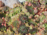 Sempervivum in the Landscape | Succulent Gardens