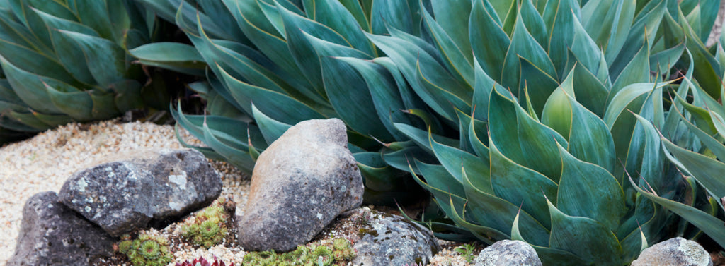 Agave Succulent Gardens