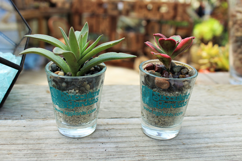 How To Plant A Succulent Shot Glass Succulent Gardens