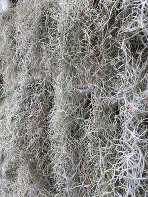 Spanish Moss Clump