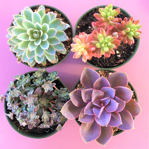 Assorted Medium Succulents