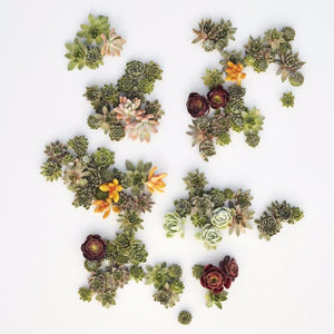 Succulent Cuttings - Living Picture Cuttings as seen in Sunset Magazine