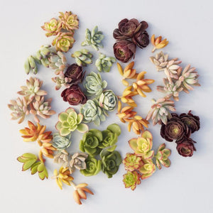 Succulent Cuttings - DIY Succulent Wreath Cuttings | Succulent Gardens