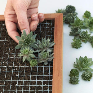 How to Plant a Succulent Wall Planter - Succulent Gardens - Living Picture - Sempervivum