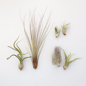 Assorted Air Plants | Tillandsia | $18.00 | Succulent Gardens
