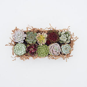Small Succulents - Succulent Rosettes - Succulent Wedding Favors