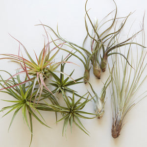 Assorted Tillandsia (Air Plants)