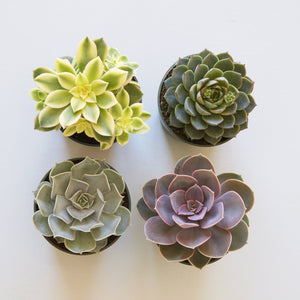 Assorted Medium Succulents | Succulent Gardens