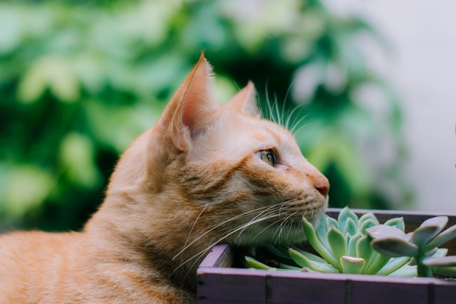 Cat with Succulent