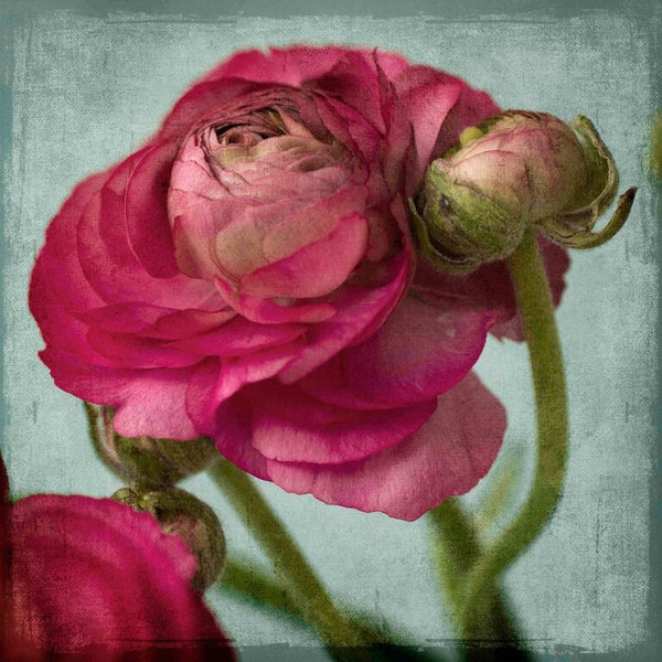 Red Ranunculus B