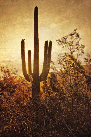 Silhouette of the Saguaro