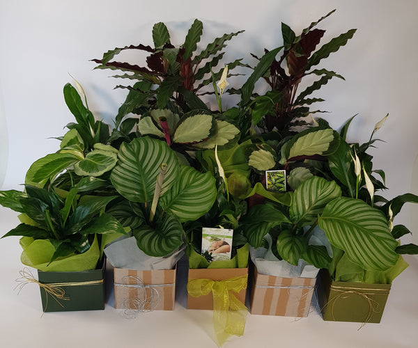 Tropical Foliage Potted Plants
