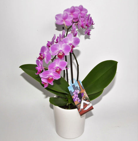 Phalanopsis Orchid Plant for Valentines Day