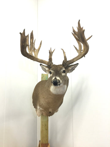 "237 4/8"" Whitetail Mount (5002)"