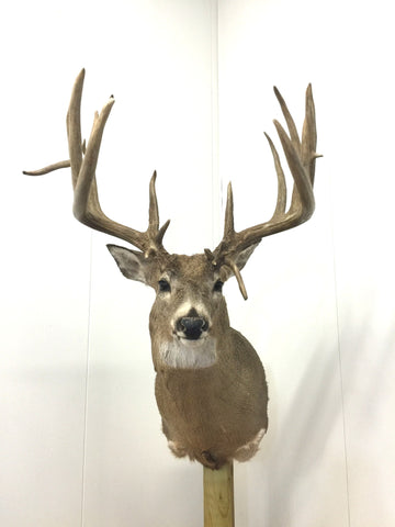 "215 3/8"" Whitetail Mount (5003)"