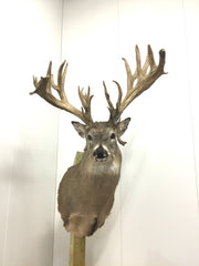 "263 1/8"" Whitetail Mount (5001)"
