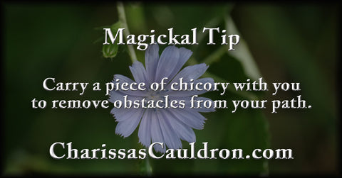 chicory for obstacles
