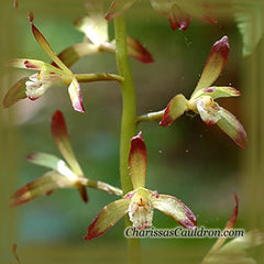 Adam and Eve Orchid Flower Remedy