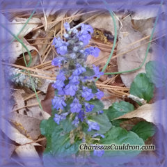 Ajuga Flower Remedy