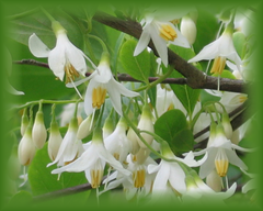 American Snowbell Flower Remedy