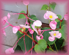 Angel Wing Begonia Flower Remedy